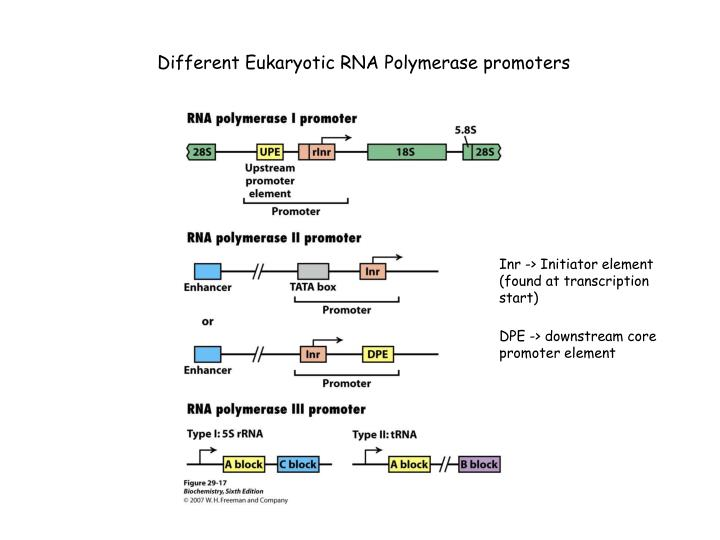 Different Eukaryotic RNA Polymerase promoters