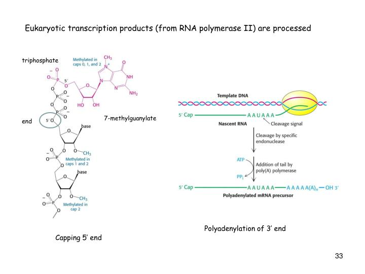 Eukaryotic transcription products (from RNA polymerase II) are processed