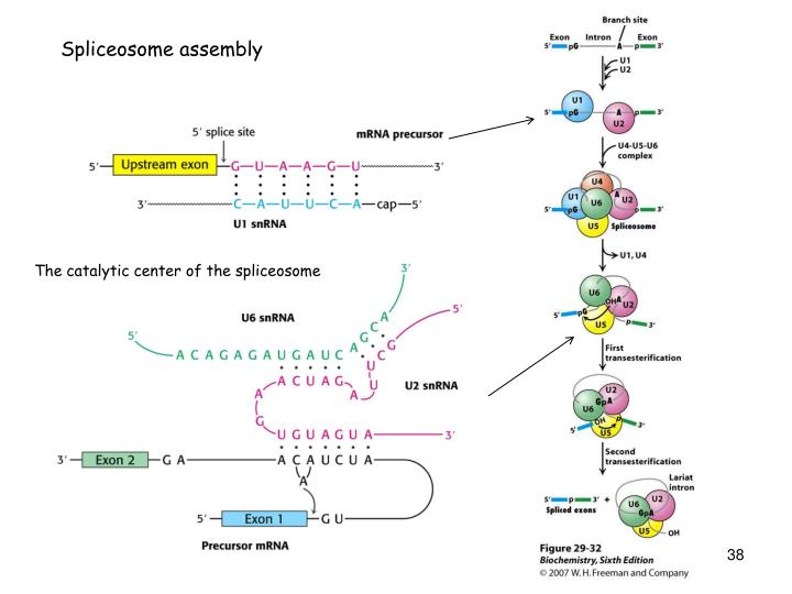 Spliceosome assembly