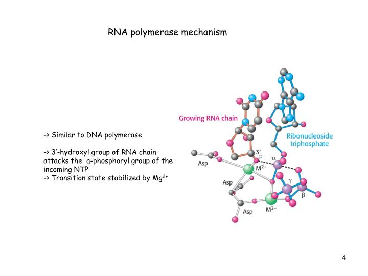 RNA polymerase mechanism