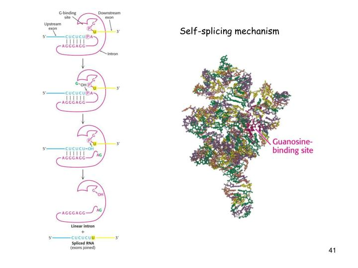 Self-splicing mechanism
