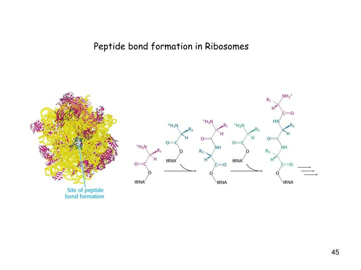 Peptide bond formation in Ribosomes