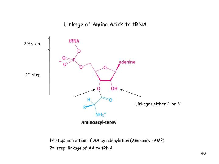 Linkage of Amino Acids to tRNA