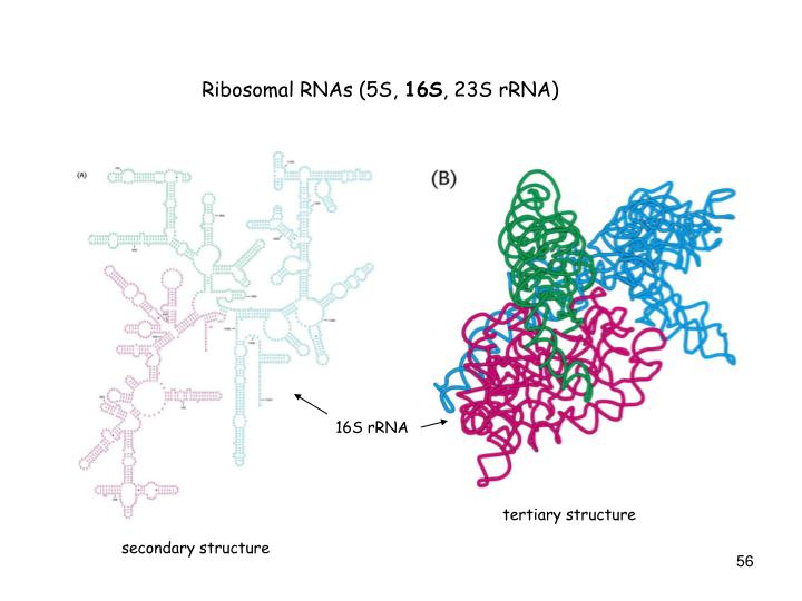 Ribosomal RNAs (5S,