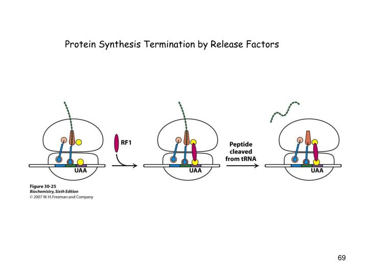 Protein Synthesis Termination by Release Factors