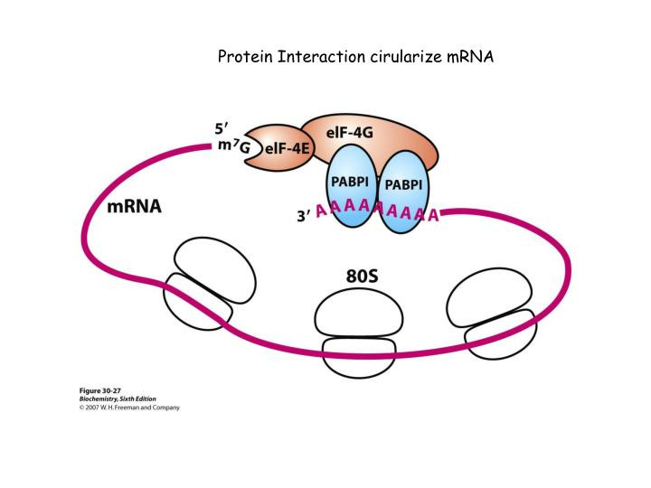 Protein Interaction cirularize mRNA