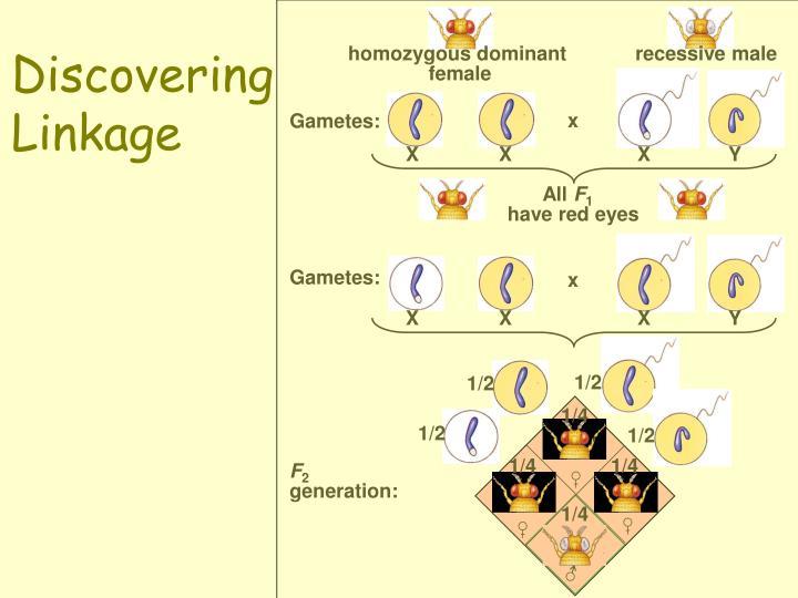 homozygous dominant