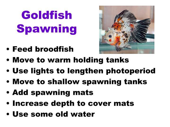 Goldfish Spawning
