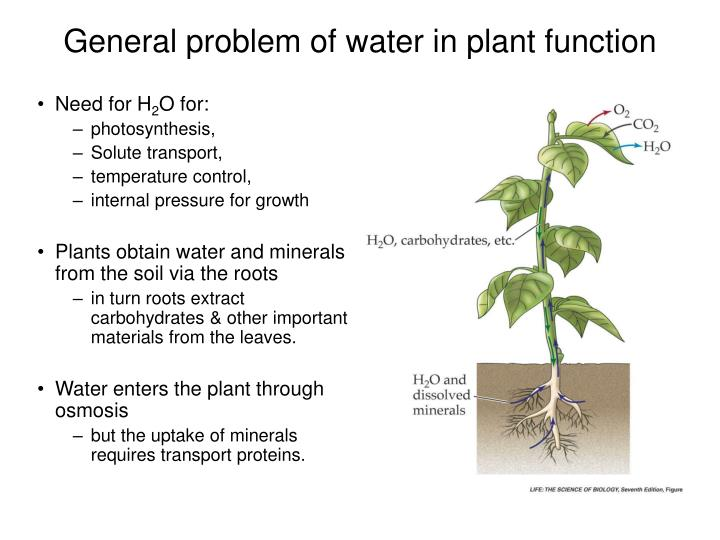 General problem of water in plant function