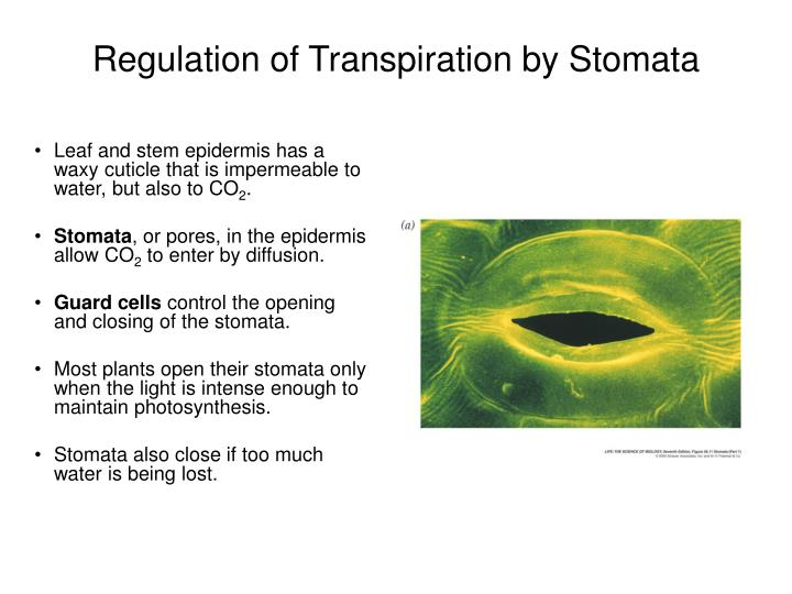 Regulation of Transpiration by Stomata
