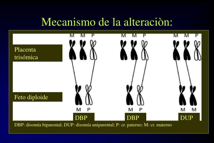Placenta trisómica