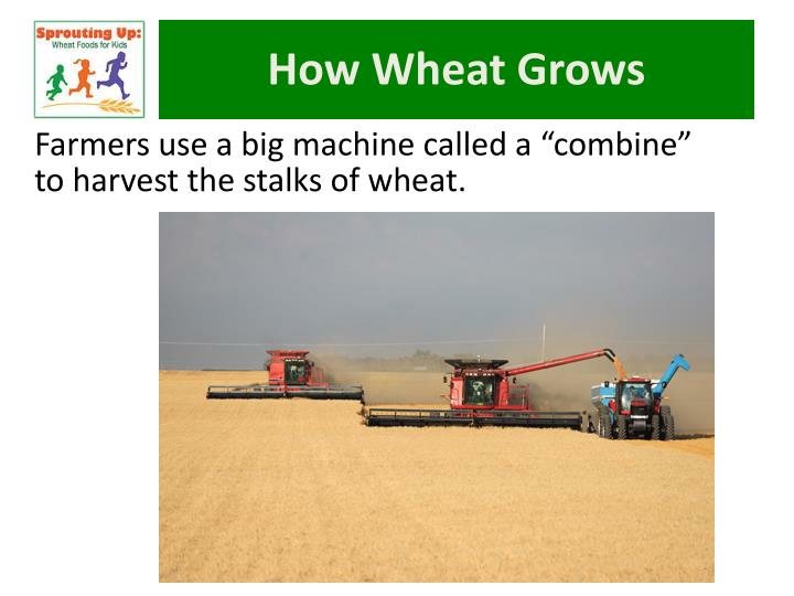How Wheat Grows