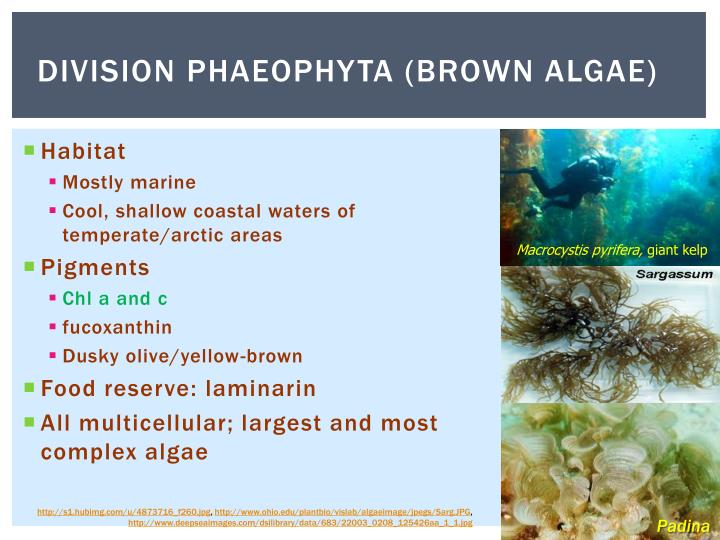 """division rhodophyta ppt Phaeophyta - powerpoint ppt  finally a meiotic division that results in the formation of the basidiospores  protists cyanophyta """" phytoplankton ."""