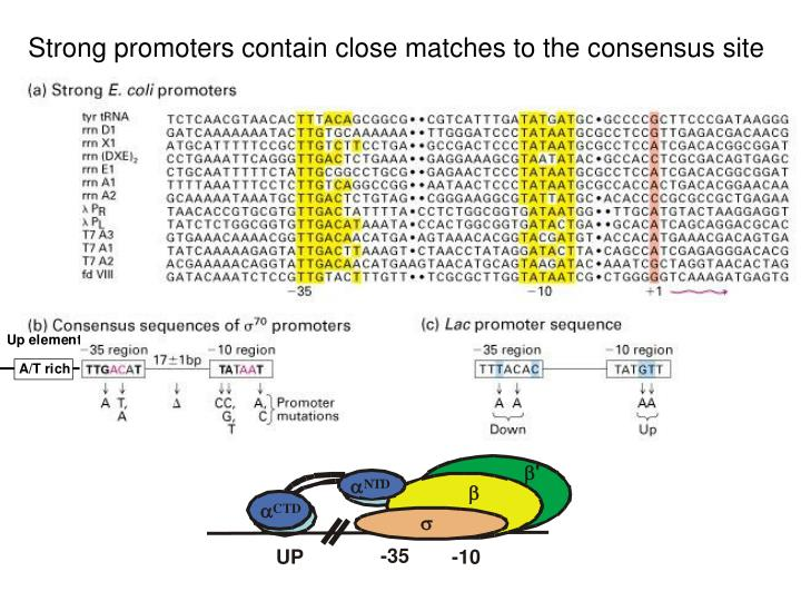 Strong promoters contain close matches to the consensus site