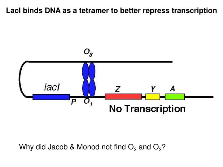 LacI binds DNA as a tetramer to better repress transcription