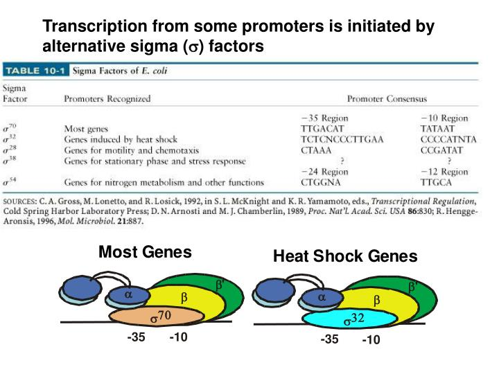 Transcription from some promoters is initiated by alternative sigma (