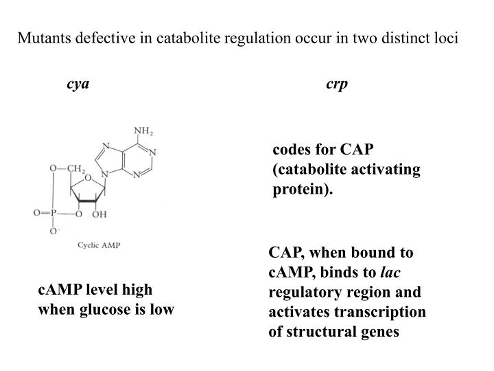 Mutants defective in catabolite regulation occur in two distinct loci