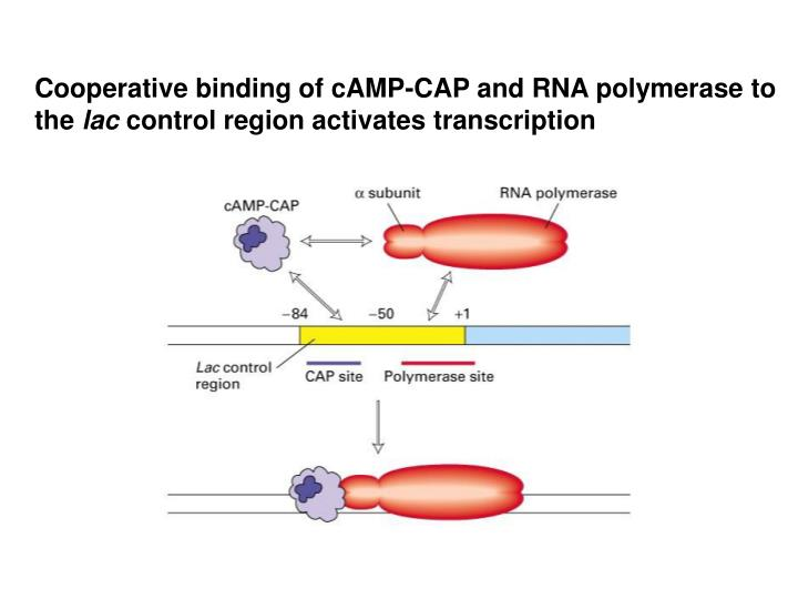 Cooperative binding of cAMP-CAP and RNA polymerase to the