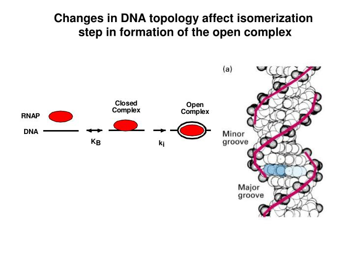 Changes in DNA topology affect isomerization