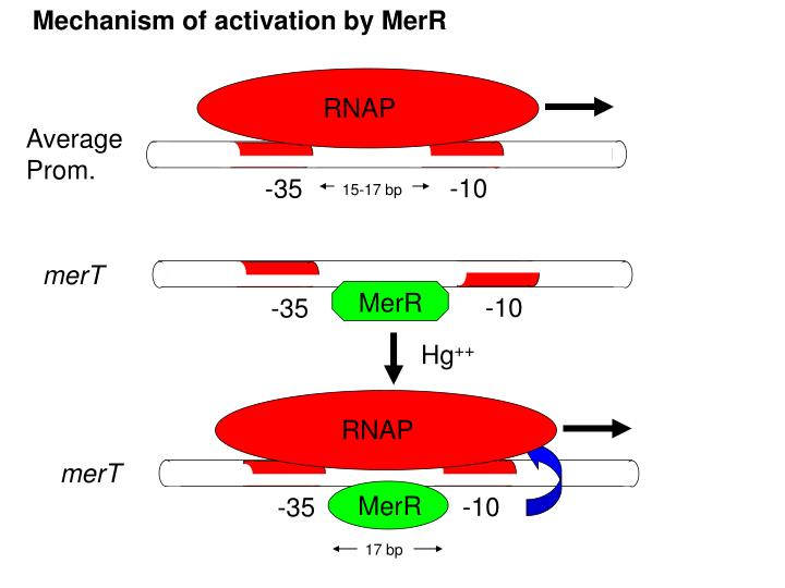 Mechanism of activation by MerR