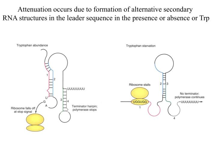Attenuation occurs due to formation of alternative secondary