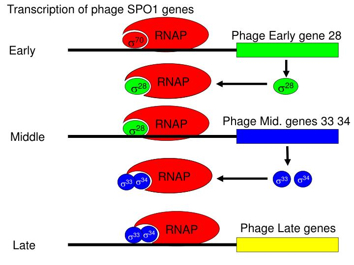 Transcription of phage SPO1 genes