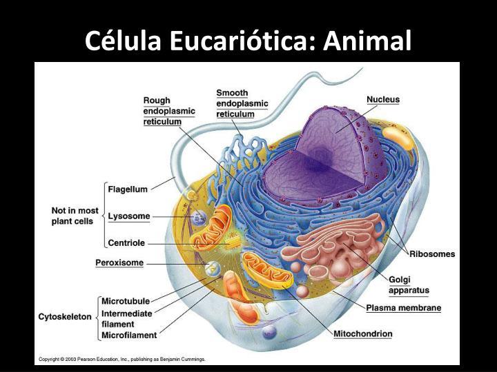 Célula Eucariótica: Animal