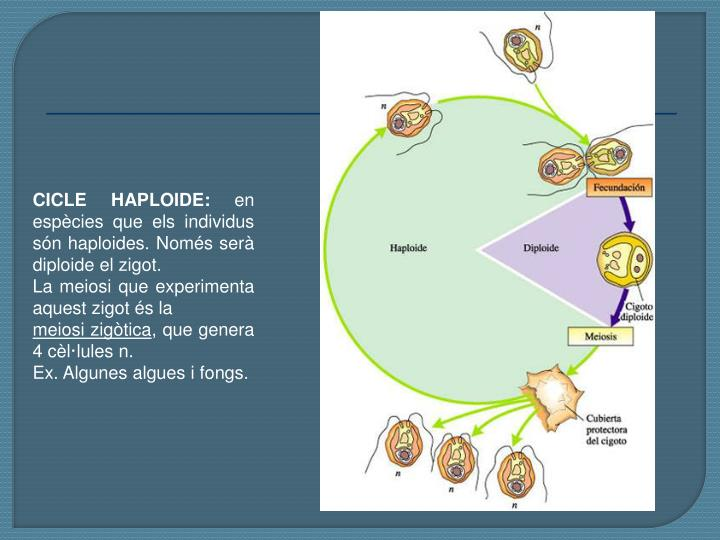 CICLE HAPLOIDE: