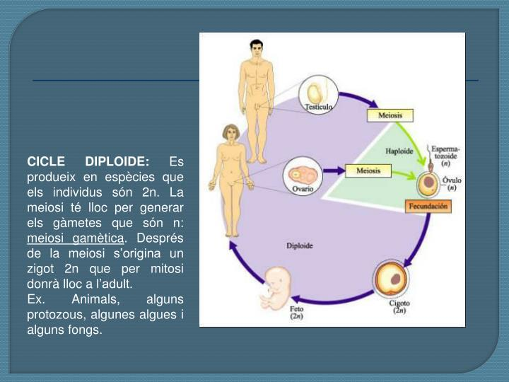 CICLE DIPLOIDE: