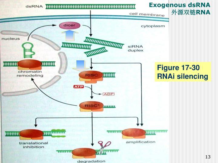 Exogenous dsRNA