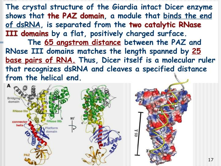The crystal structure of the Giardia intact Dicer enzyme shows that