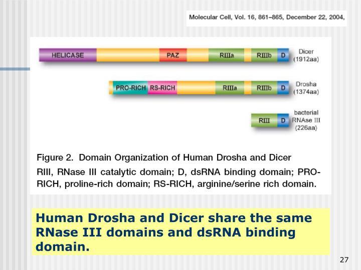Human Drosha and Dicer share the same RNase III domains and dsRNA binding domain.