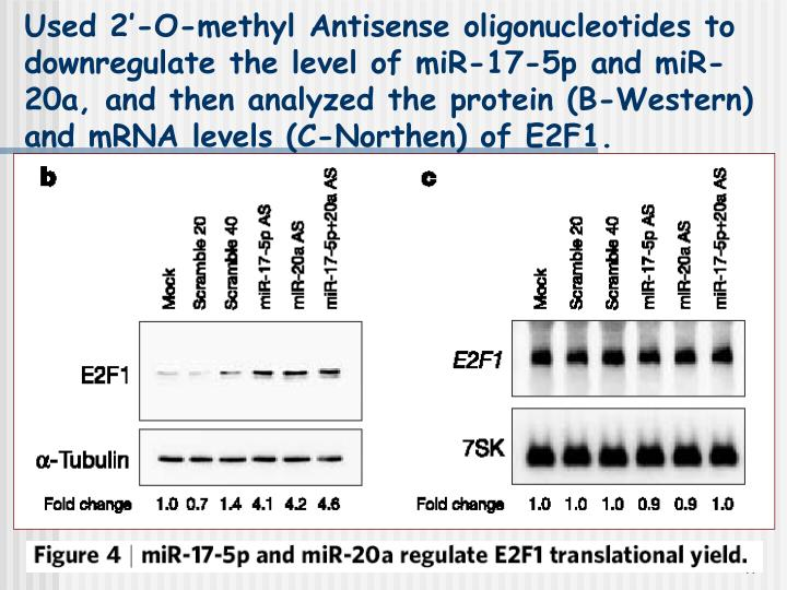 Used 2'-O-methyl Antisense oligonucleotides to downregulate the level of miR-17-5p and miR-20a, and then analyzed the protein (B-Western) and mRNA levels (C-Northen) of E2F1.