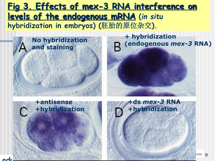 Fig 3. Effects of mex-3 RNA interference on levels of the endogenous mRNA