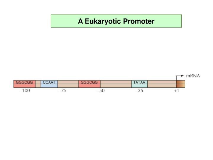 A Eukaryotic Promoter