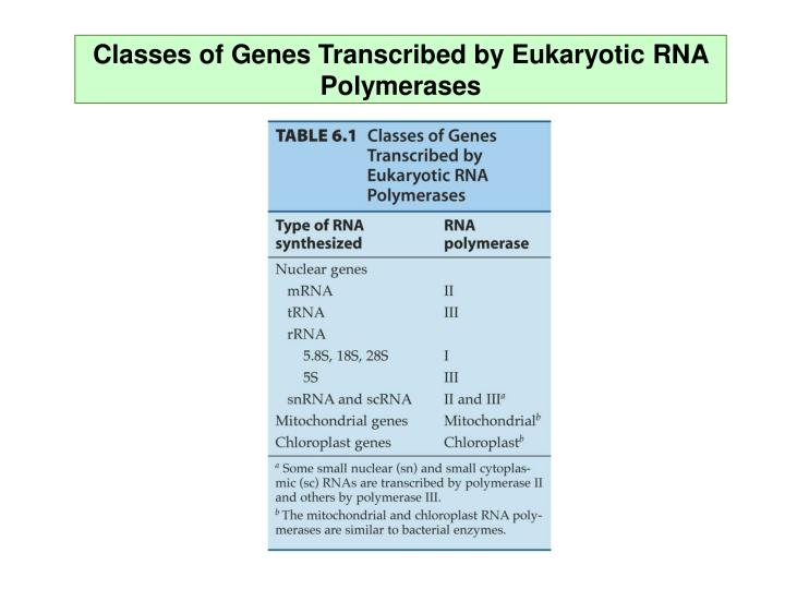 Classes of Genes Transcribed by Eukaryotic RNA Polymerases