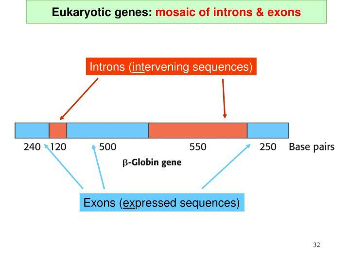 Eukaryotic genes: