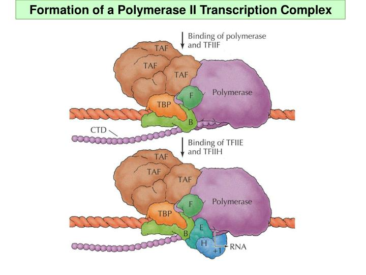 Formation of a Polymerase II Transcription Complex
