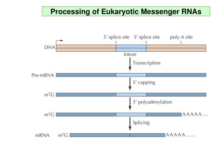 Processing of Eukaryotic Messenger RNAs