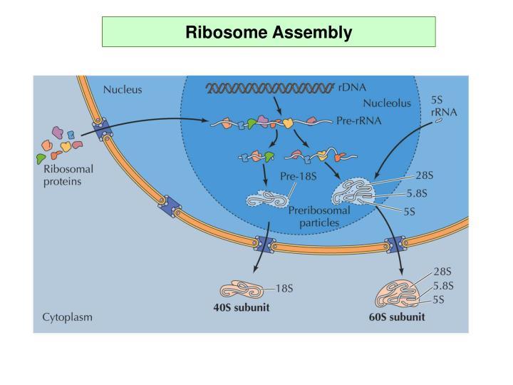 Ribosome Assembly