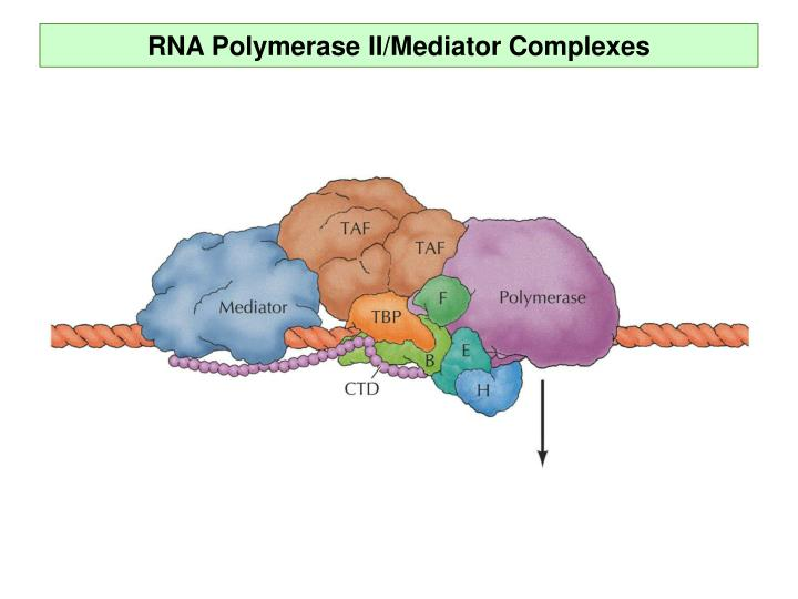 RNA Polymerase II/Mediator Complexes