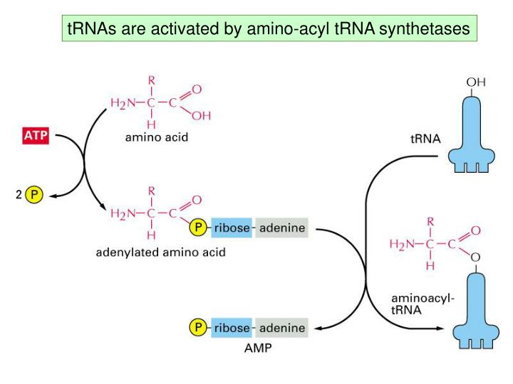 tRNAs are activated by amino-acyl tRNA synthetases