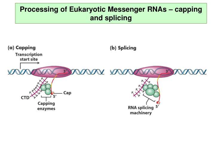 Processing of Eukaryotic Messenger RNAs – capping and splicing