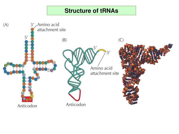 Structure of tRNAs