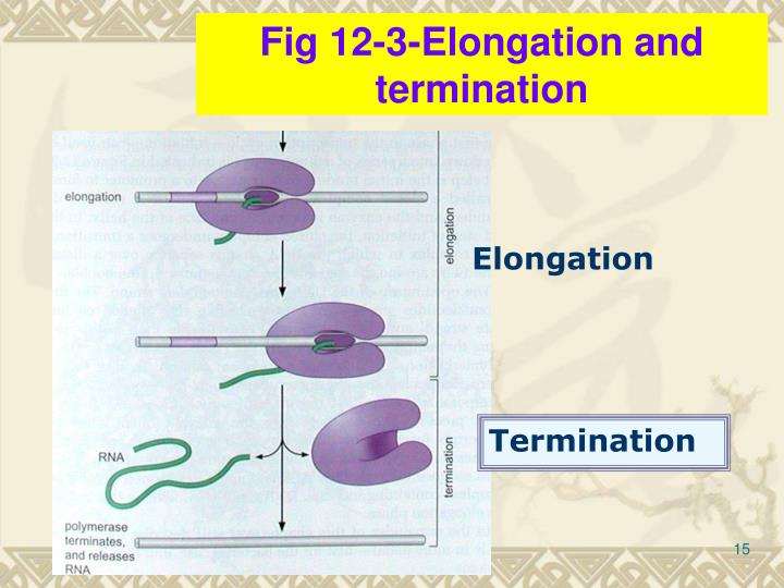Fig 12-3-Elongation and termination