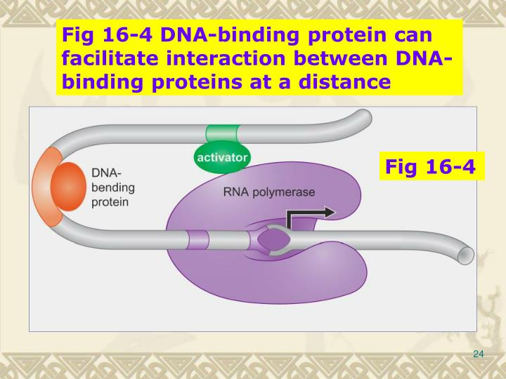 Fig 16-4 DNA-binding protein can facilitate interaction between DNA-binding proteins at a distance