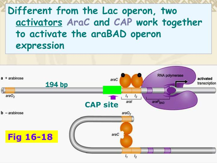 Different from the Lac operon, two