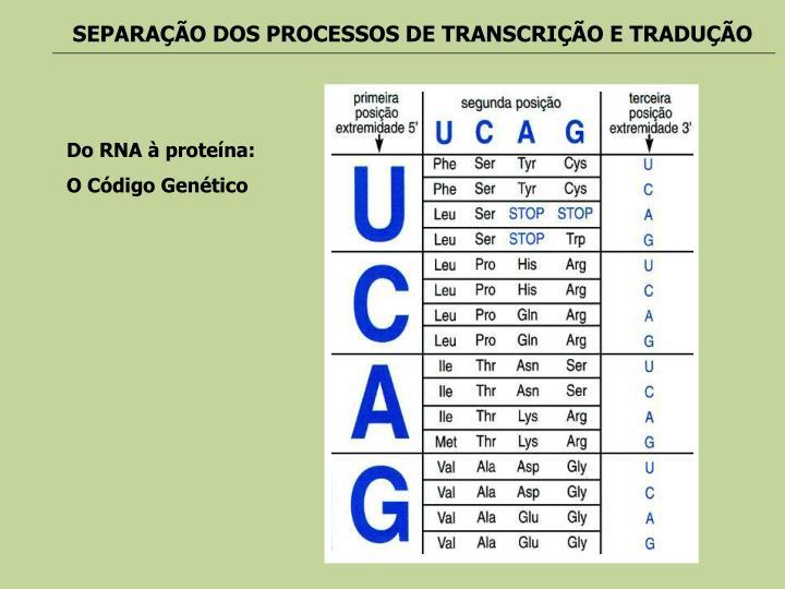 SEPARAÇÃO DOS PROCESSOS DE TRANSCRIÇÃO E TRADUÇÃO
