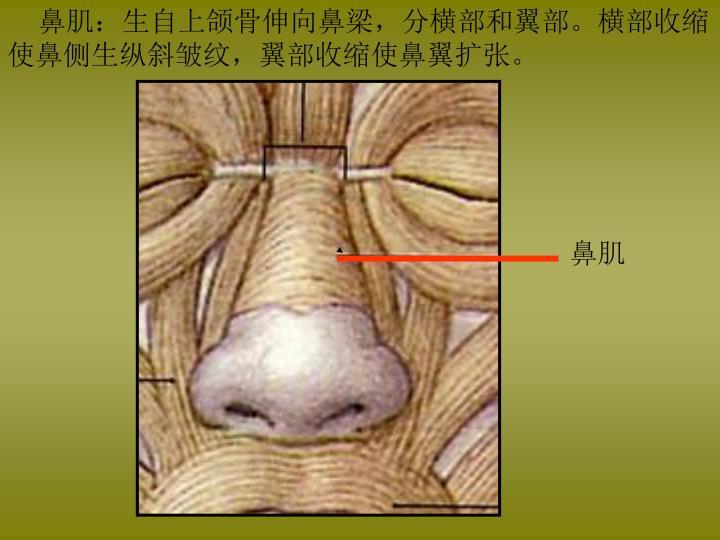 鼻肌:生自上颌骨伸向鼻梁,分横部和翼部。横部收缩使鼻侧生纵斜皱纹,翼部收缩使鼻翼扩张。