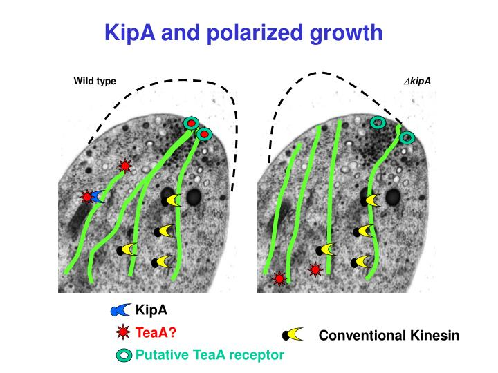 KipA and polarized growth